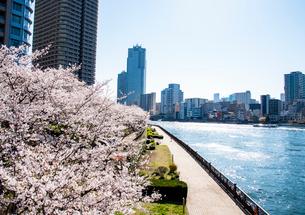 桜満開の佃公園より西日に輝く隅田川と高層ビル群を望むの写真素材 [FYI03150264]