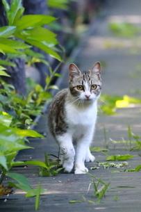 警戒するネコの写真素材 [FYI03150277]