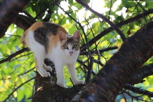 木登りネコの写真素材 [FYI03150279]
