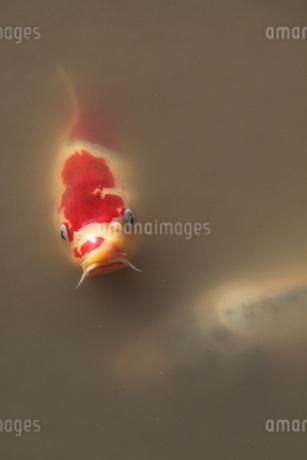 鯉がこんにちはの写真素材 [FYI03150287]