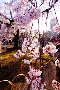 桜のイメージの写真素材 [FYI03150374]