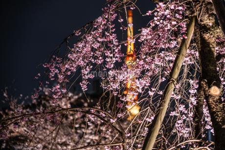 毛利庭園の夜桜と東京タワーの写真素材 [FYI03150391]