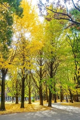 黄色く染まった公園のイチョウ木立の写真素材 [FYI03150500]