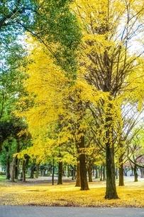黄色く染まった公園のイチョウの写真素材 [FYI03150501]