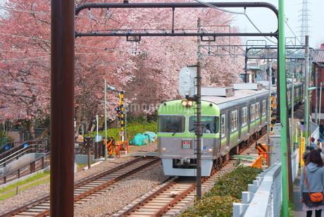 桜と京王井の頭線の写真素材 [FYI03150530]