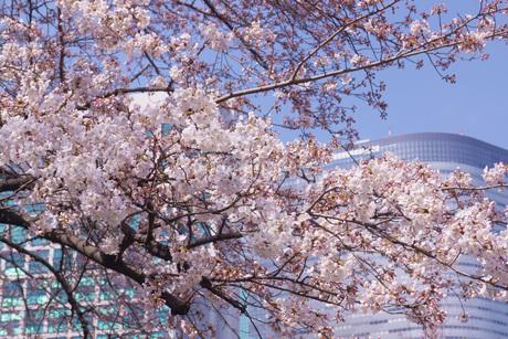 日本庭園の桜イメージの写真素材 [FYI03150548]