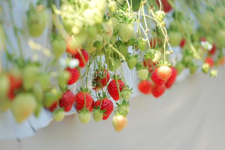 苺のイメージの写真素材 [FYI03150578]