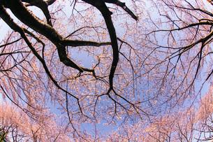 満開の桜と晴天の青空(調布飛行場)の写真素材 [FYI03150600]