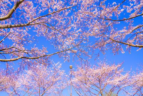 満開の桜と晴天の青空(調布飛行場)の写真素材 [FYI03150630]