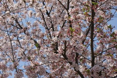 日本庭園の桜イメージの写真素材 [FYI03150637]