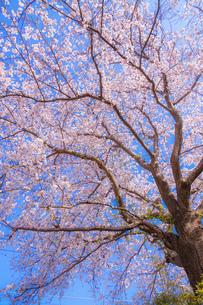 神奈川県鎌倉市の満開の桜の写真素材 [FYI03150691]