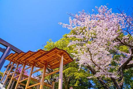 神社の飾りと桜の写真素材 [FYI03150697]
