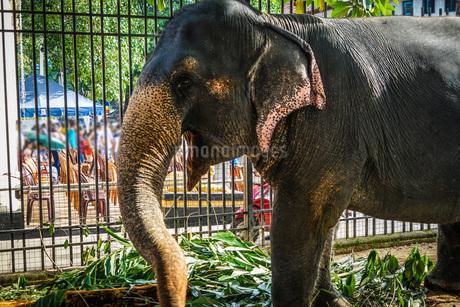 スリランカ・キャンディーの象の写真素材 [FYI03150736]
