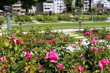 大阪・中之島公園のバラ園の写真素材 [FYI03150759]