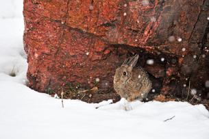 雪の降る中、大きな岩の下で一時を凌いでいるノウサギの写真素材 [FYI03150808]