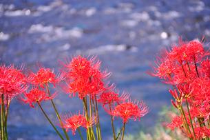 水辺に咲くヒガンバナの写真素材 [FYI03150956]