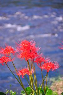 水辺に咲くヒガンバナの写真素材 [FYI03150957]