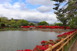 京都・長岡天満宮のキリシマツツジの写真素材 [FYI03151129]