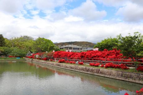 池にかかる赤いツツジ道の写真素材 [FYI03151130]