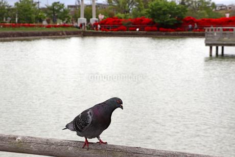 池の手すりで休むハトの写真素材 [FYI03151138]