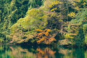 鏡面が美しい紅葉の蛇ヶ池の写真素材 [FYI03151961]