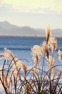 東京湾とススキの写真素材 [FYI03152069]