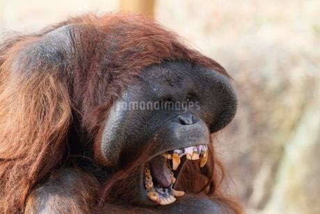 威嚇するオラウータンの写真素材 [FYI03152098]