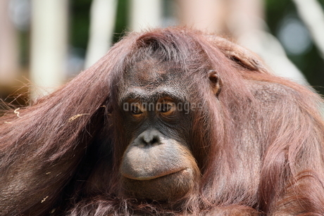 オラウータンの顔の写真素材 [FYI03152105]