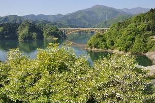 ドウダンツツジ咲く春の宮ヶ瀬湖の写真素材 [FYI03152117]