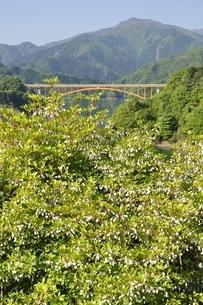 ドウダンツツジ咲く春の宮ヶ瀬湖の写真素材 [FYI03152118]
