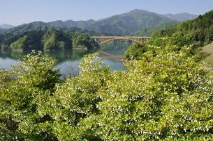 ドウダンツツジ咲く春の宮ヶ瀬湖の写真素材 [FYI03152119]