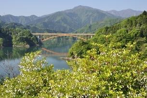 ドウダンツツジ咲く春の宮ヶ瀬湖の写真素材 [FYI03152120]