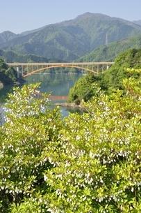 ドウダンツツジ咲く春の宮ヶ瀬湖の写真素材 [FYI03152121]