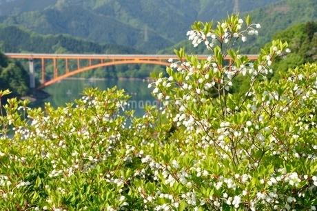 ドウダンツツジ咲く春の宮ヶ瀬湖の写真素材 [FYI03152123]