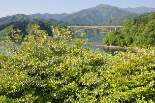ドウダンツツジ咲く春の宮ヶ瀬湖の写真素材 [FYI03152126]