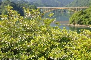 ドウダンツツジ咲く春の宮ヶ瀬湖の写真素材 [FYI03152127]