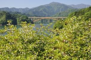 ドウダンツツジ咲く春の宮ヶ瀬湖の写真素材 [FYI03152130]