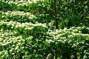 春咲くミズキの花の写真素材 [FYI03152172]