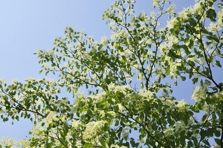春咲くミズキの花の写真素材 [FYI03152178]