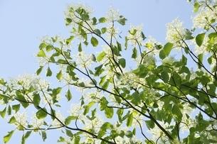 春咲くミズキの花の写真素材 [FYI03152179]