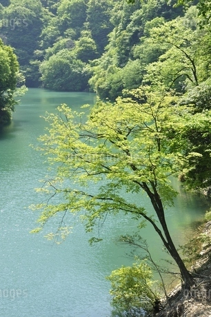 渓谷の新緑木立ちの写真素材 [FYI03152189]