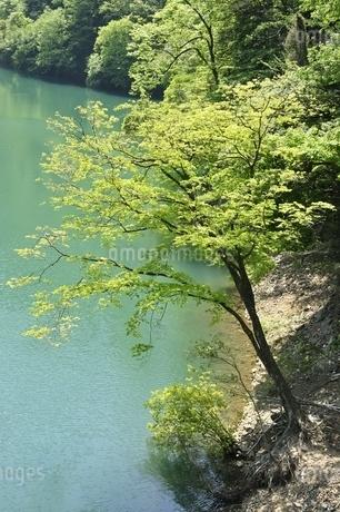 渓谷の新緑木立ちの写真素材 [FYI03152191]