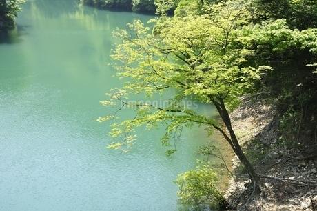 渓谷の新緑木立ちの写真素材 [FYI03152192]