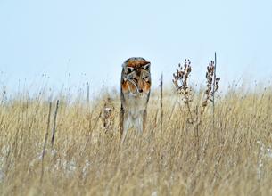 枯れ草の中にいる獲物に飛びつこうとはねたコヨーテの様子の写真素材 [FYI03152298]