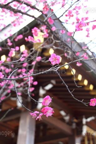 神社の紅梅の写真素材 [FYI03152435]