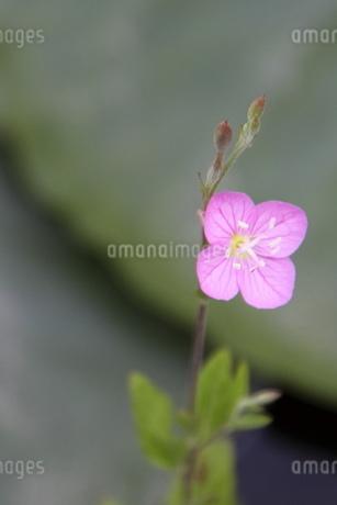 可憐な花の写真素材 [FYI03152452]