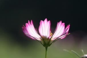 コスモス アップ 透過光の写真素材 [FYI03152457]