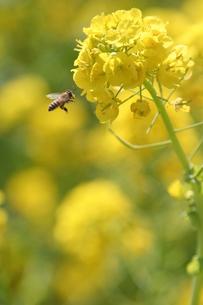ナノハナとミツバチの写真素材 [FYI03152460]