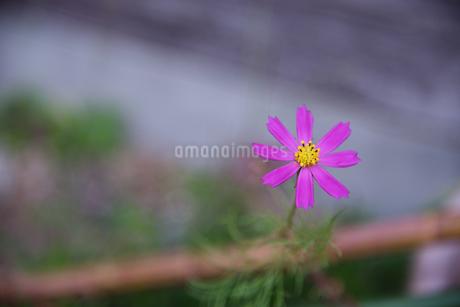 コスモス 花写真素材の写真素材 [FYI03152762]