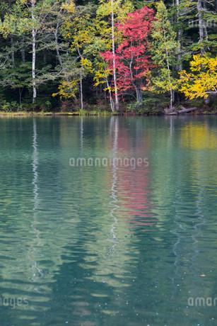 赤いモミジが写る秋の湖 オンネトー湖の写真素材 [FYI03152773]